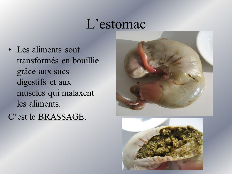 L'estomac Les aliments sont transformés en bouillie grâce aux sucs digestifs et aux muscles qui malaxent les aliments.