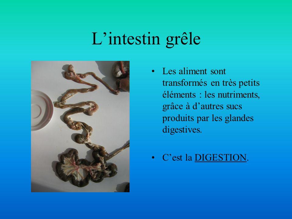 L'intestin grêle Les aliment sont transformés en très petits éléments : les nutriments, grâce à d'autres sucs produits par les glandes digestives.