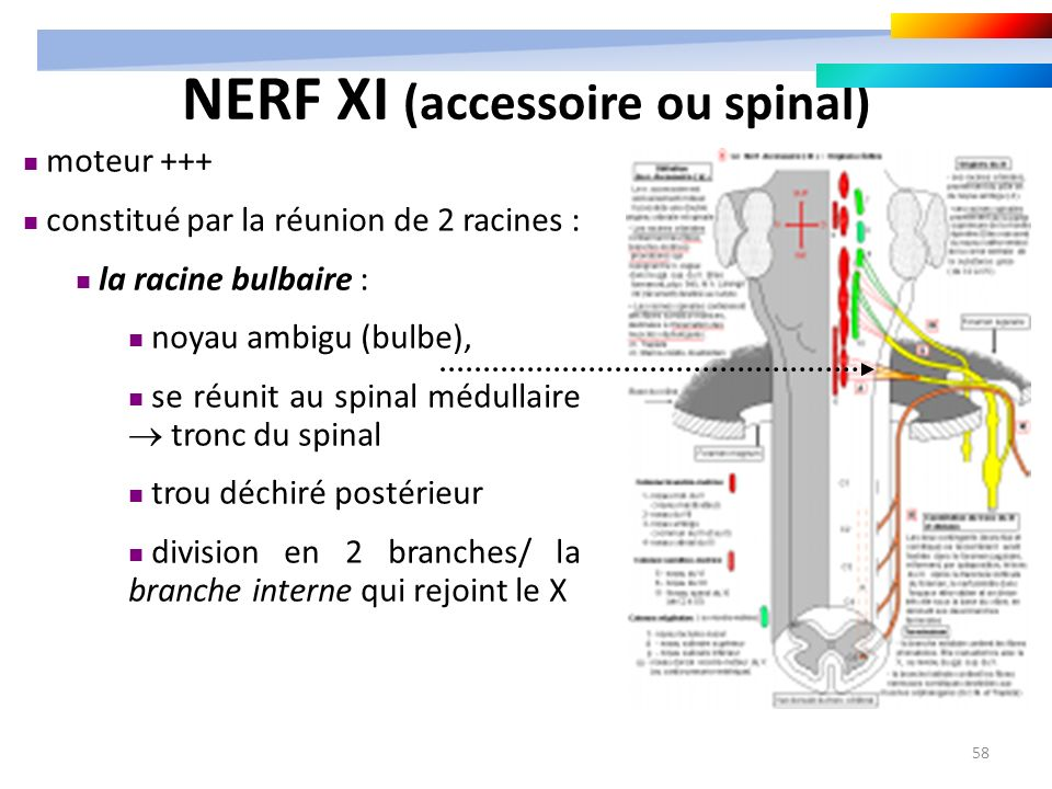 NERF XI (accessoire ou spinal)