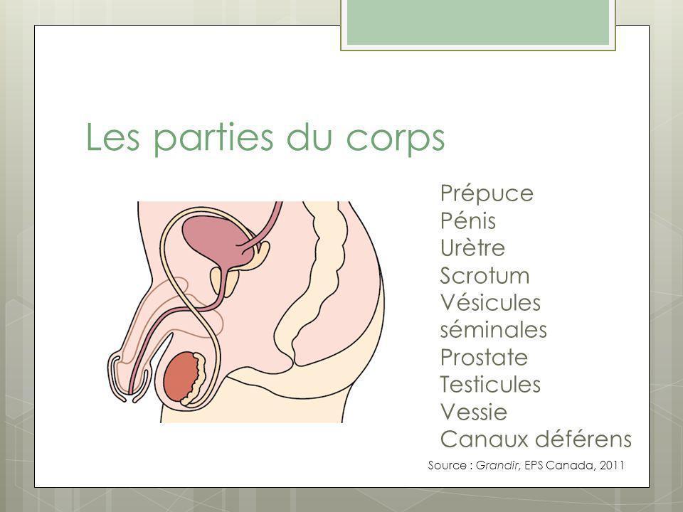 Les parties du corps Prépuce Pénis Urètre Scrotum Vésicules séminales