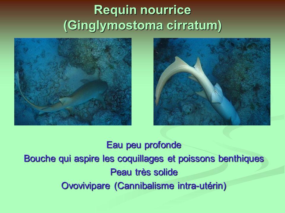 Requin nourrice (Ginglymostoma cirratum)