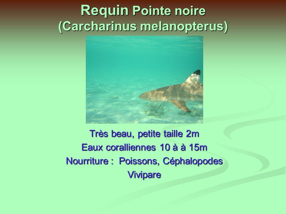 Requin Pointe noire (Carcharinus melanopterus)