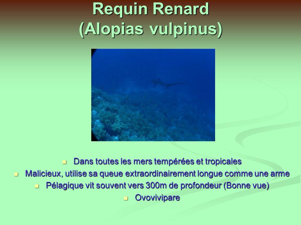 Requin Renard (Alopias vulpinus)