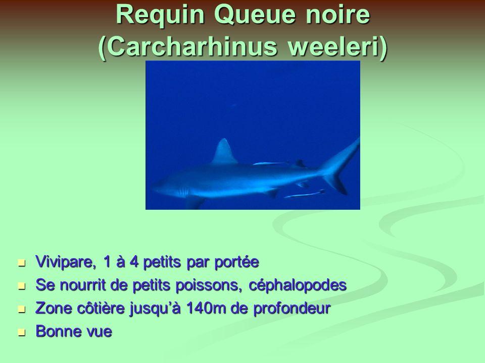 Requin Queue noire (Carcharhinus weeleri)