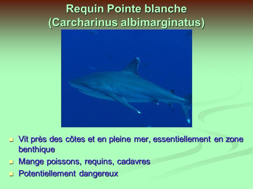 Requin Pointe blanche (Carcharinus albimarginatus)
