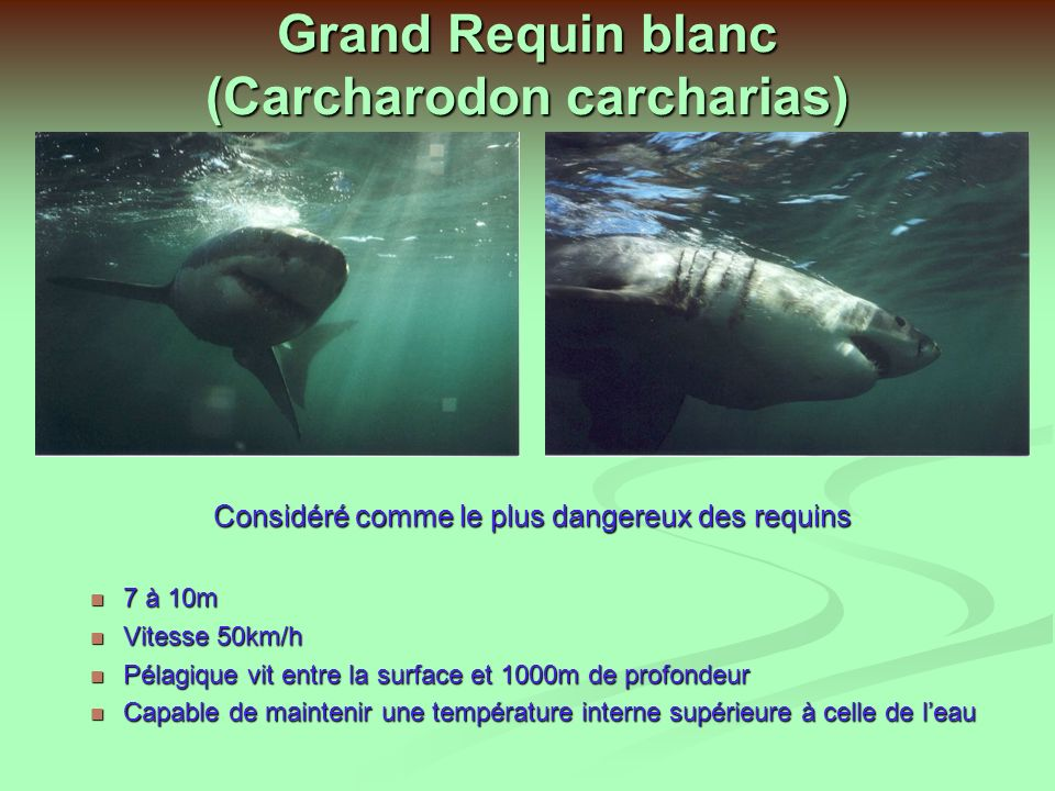 Grand Requin blanc (Carcharodon carcharias)