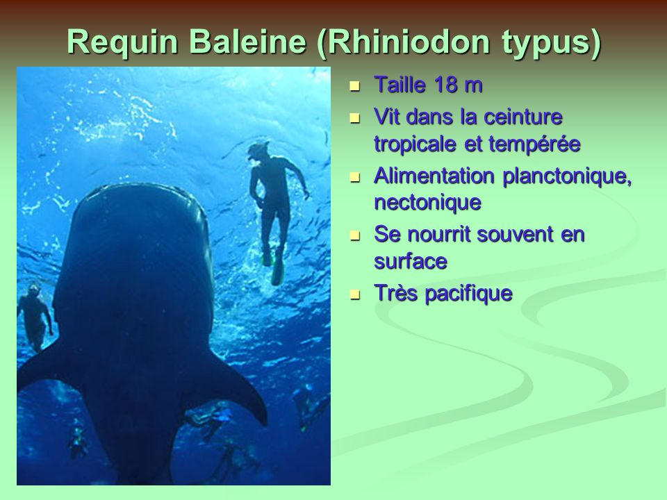 Requin Baleine (Rhiniodon typus)
