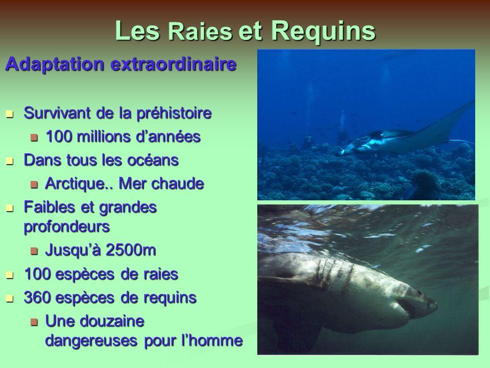 Les Raies et Requins Adaptation extraordinaire
