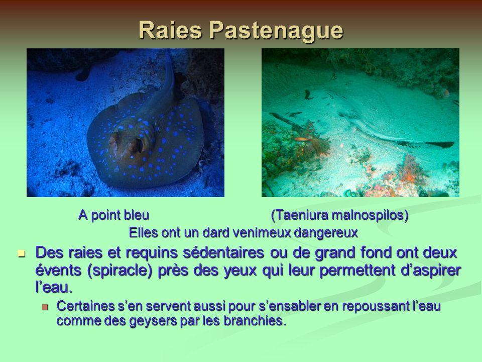 Raies Pastenague A point bleu (Taeniura malnospilos) Elles ont un dard venimeux dangereux.