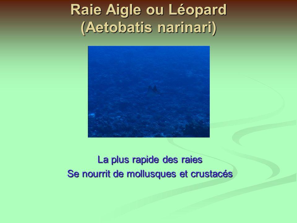 Raie Aigle ou Léopard (Aetobatis narinari)