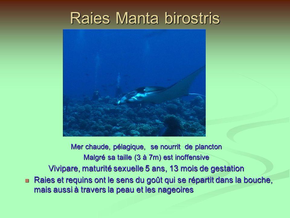 Raies Manta birostris Mer chaude, pélagique, se nourrit de plancton. Malgré sa taille (3 à 7m) est inoffensive.