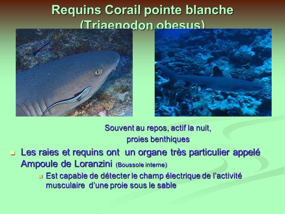 Requins Corail pointe blanche (Triaenodon obesus)