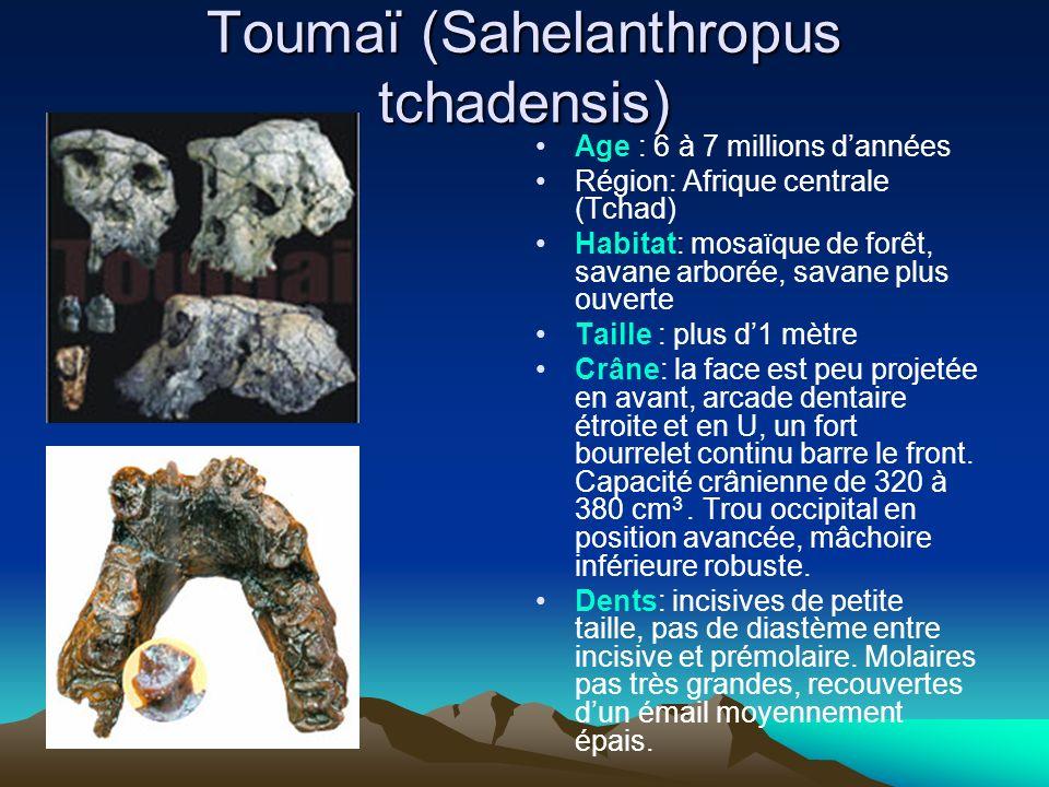 Toumaï (Sahelanthropus tchadensis)