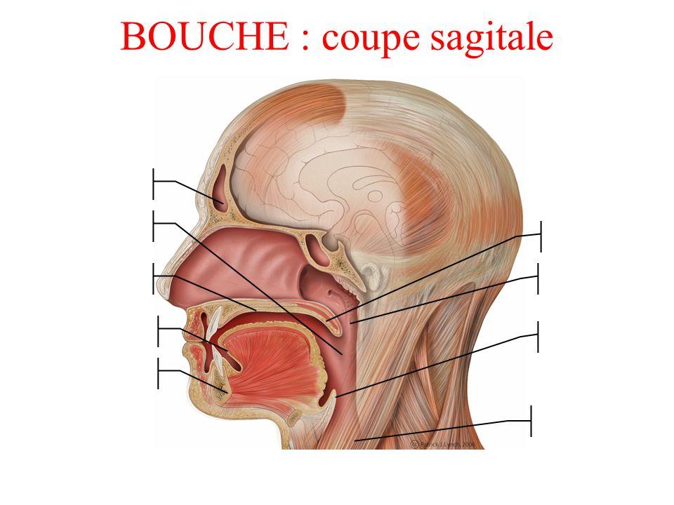 BOUCHE : coupe sagitale