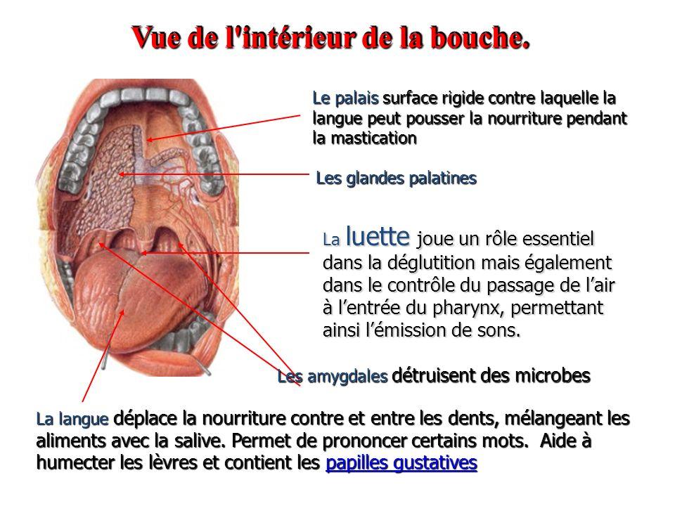 Anatomie et physiologie de l appareil digestif ppt video for Interieur de la bouche