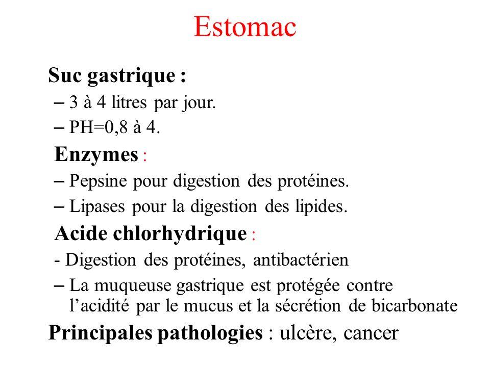 Estomac Suc gastrique : Enzymes : Acide chlorhydrique :