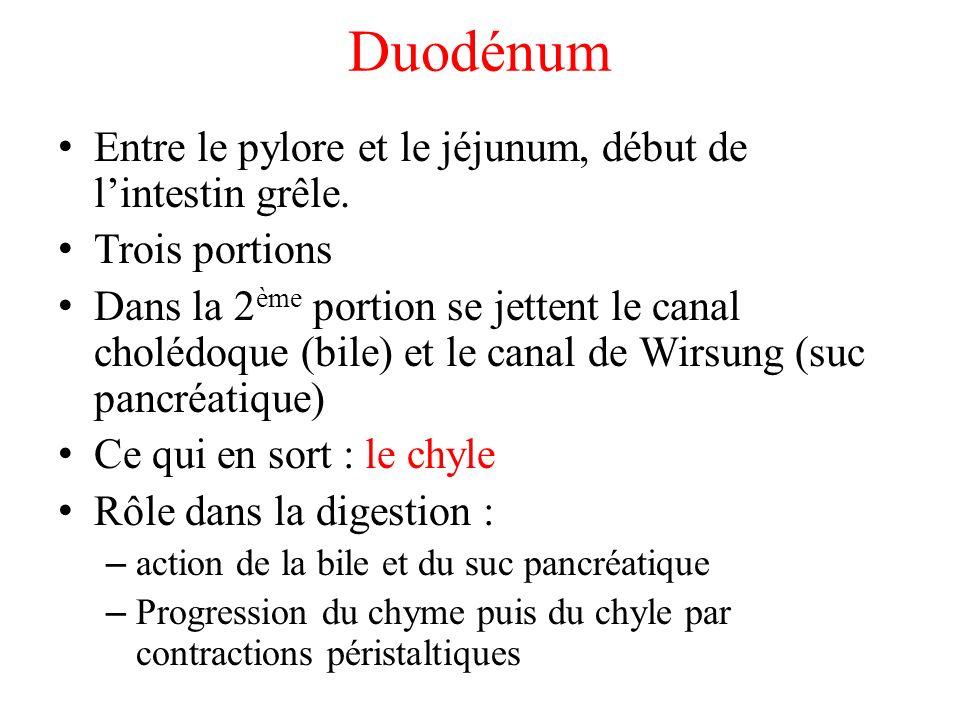 Duodénum Entre le pylore et le jéjunum, début de l'intestin grêle.