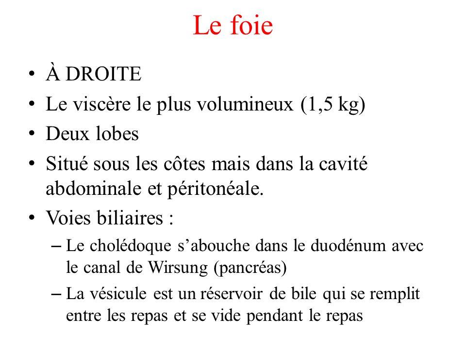 Le foie À DROITE Le viscère le plus volumineux (1,5 kg) Deux lobes