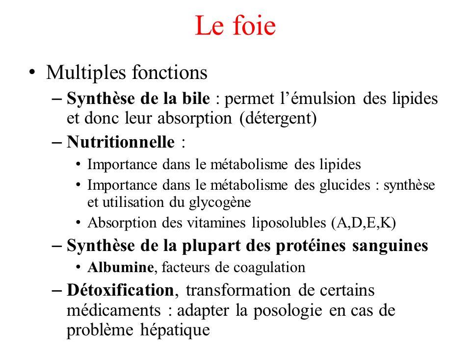 Le foie Multiples fonctions