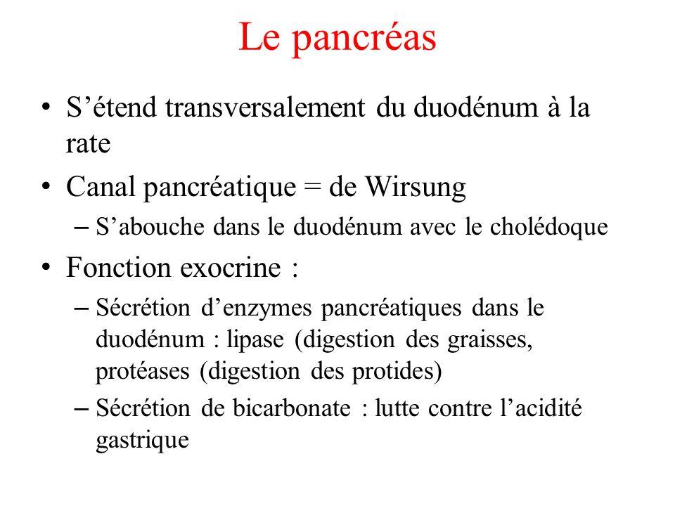 Le pancréas S'étend transversalement du duodénum à la rate