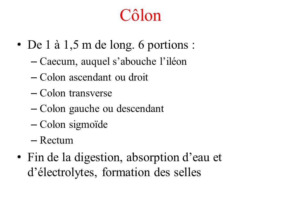 Côlon De 1 à 1,5 m de long. 6 portions :