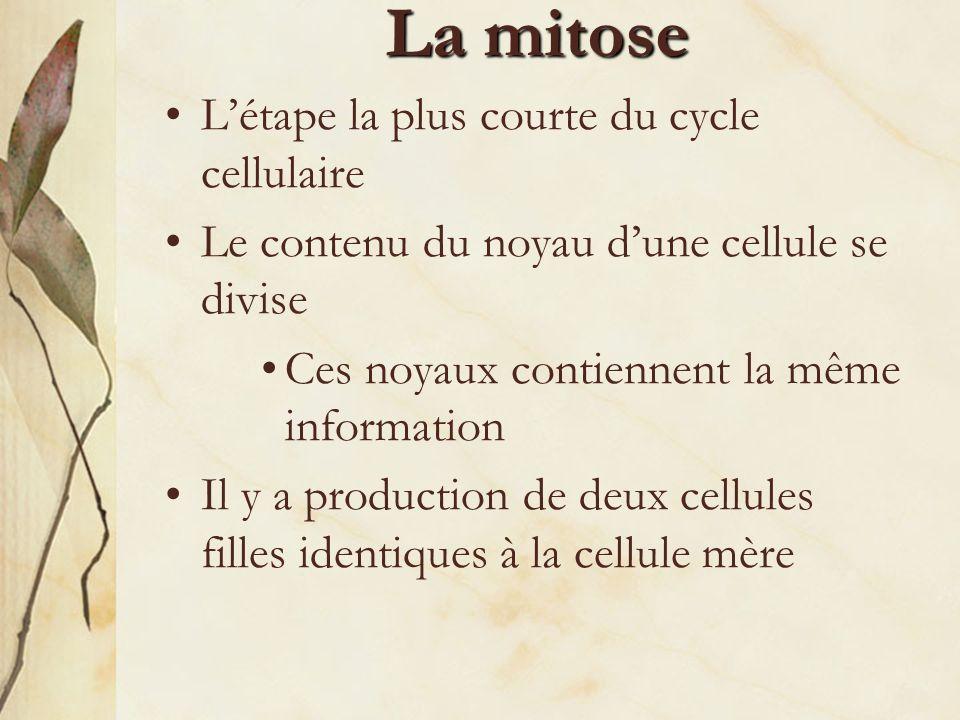 La mitose L'étape la plus courte du cycle cellulaire