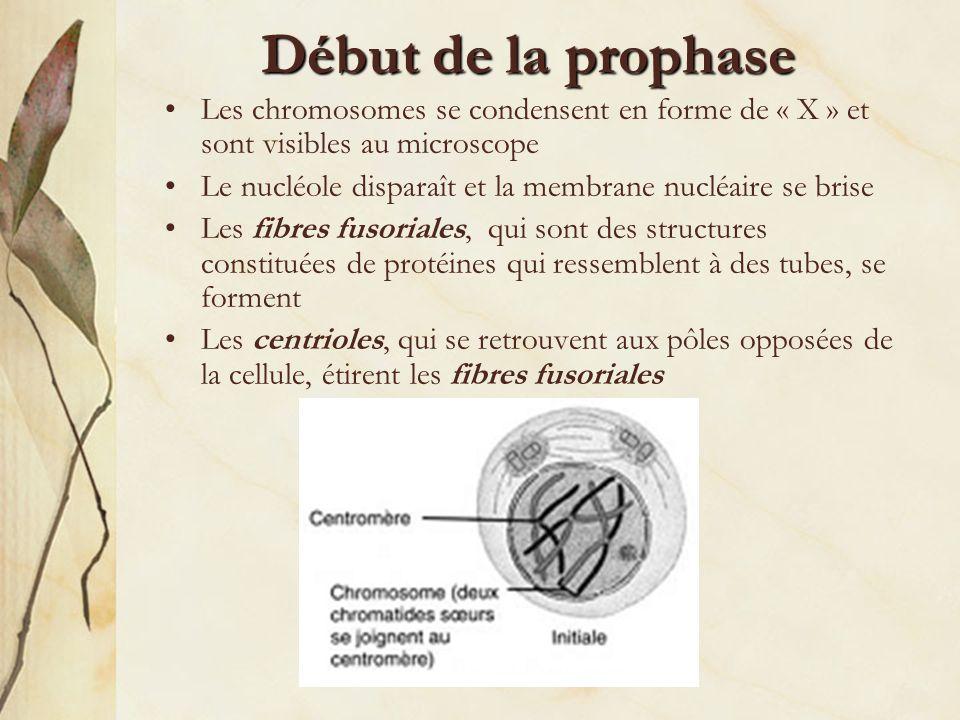 Début de la prophase Les chromosomes se condensent en forme de « X » et sont visibles au microscope.