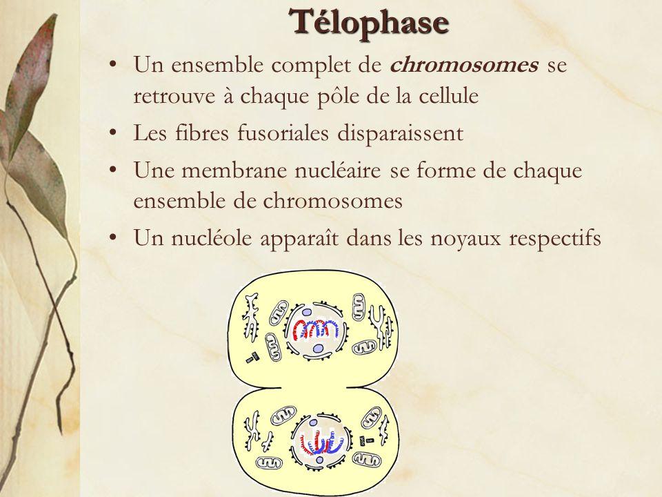 Télophase Un ensemble complet de chromosomes se retrouve à chaque pôle de la cellule. Les fibres fusoriales disparaissent.