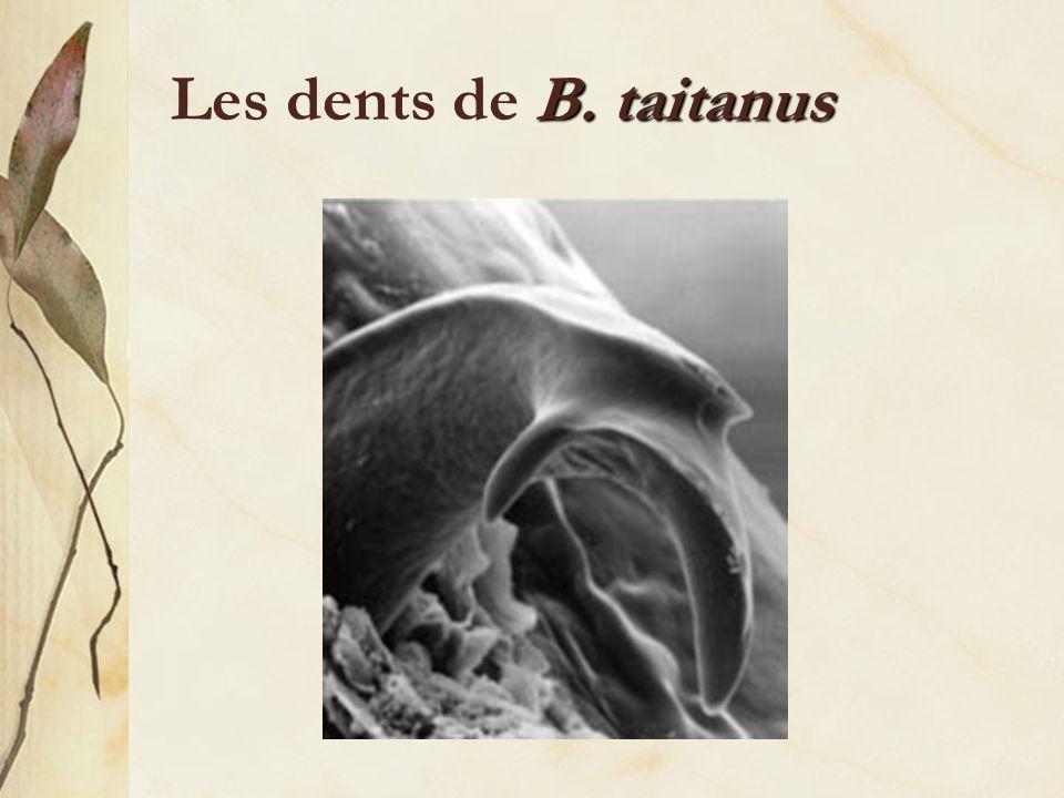Les dents de B. taitanus