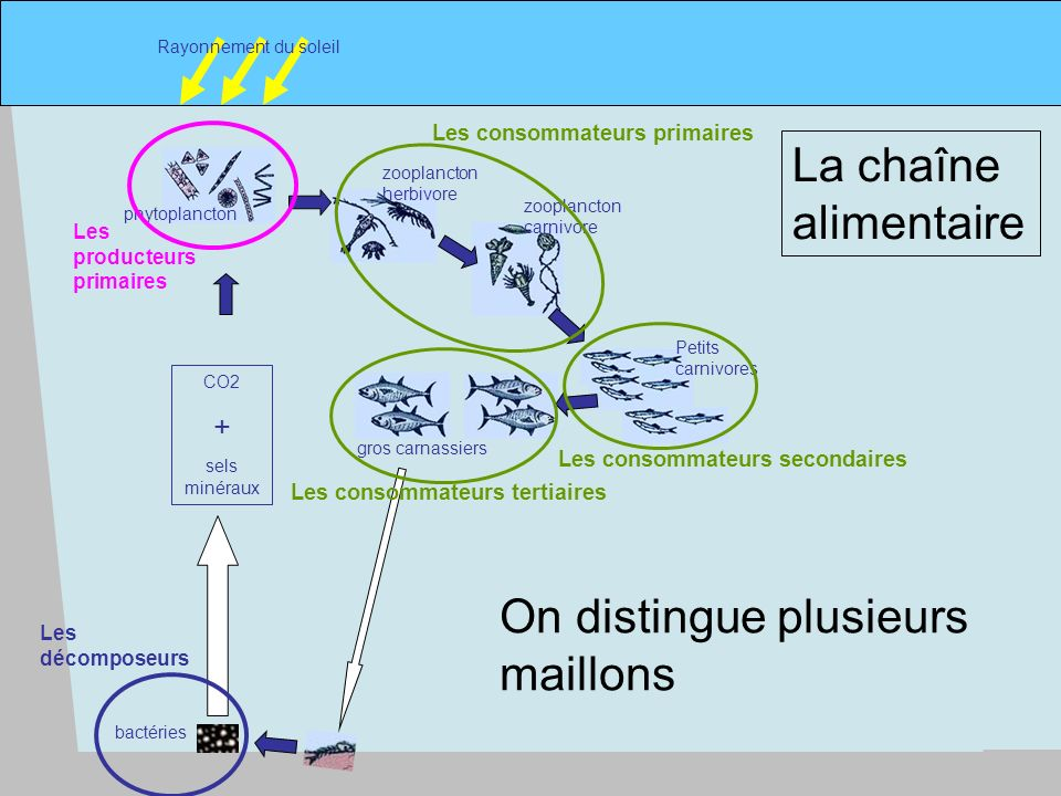 On distingue plusieurs maillons