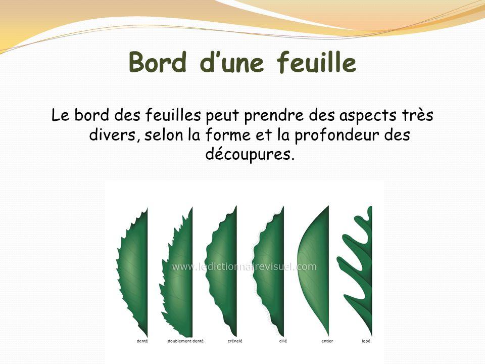 Bord d'une feuille Le bord des feuilles peut prendre des aspects très divers, selon la forme et la profondeur des découpures.