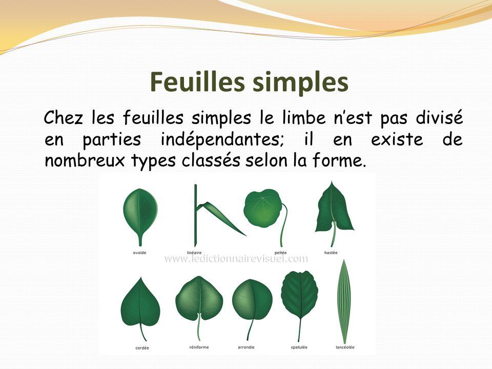 Feuilles simples Chez les feuilles simples le limbe n'est pas divisé en parties indépendantes; il en existe de nombreux types classés selon la forme.
