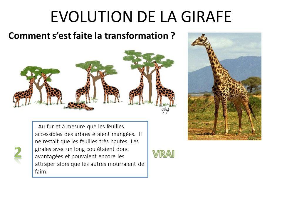 EVOLUTION DE LA GIRAFE Vrai FAux 1 2 ou FAUX VRAI