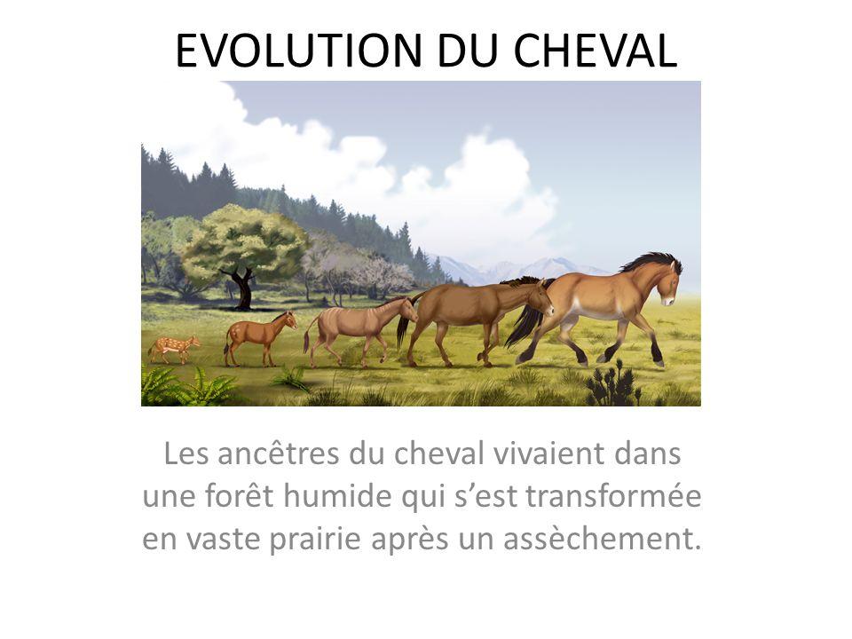 EVOLUTION DU CHEVAL Les ancêtres du cheval vivaient dans une forêt humide qui s'est transformée en vaste prairie après un assèchement.