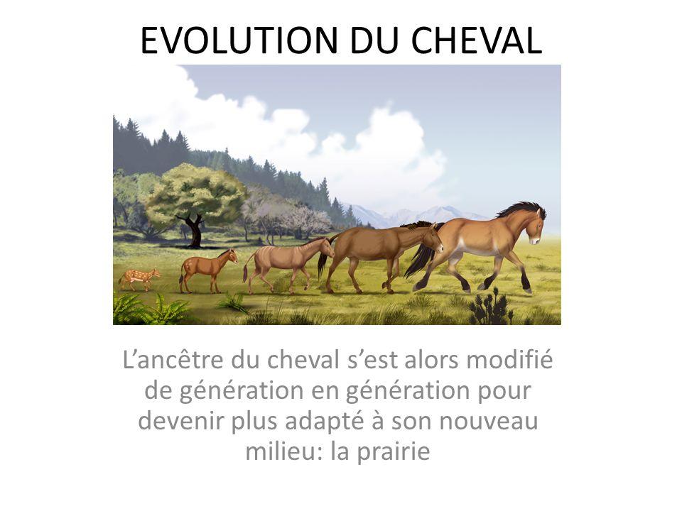 EVOLUTION DU CHEVAL L'ancêtre du cheval s'est alors modifié de génération en génération pour devenir plus adapté à son nouveau milieu: la prairie.
