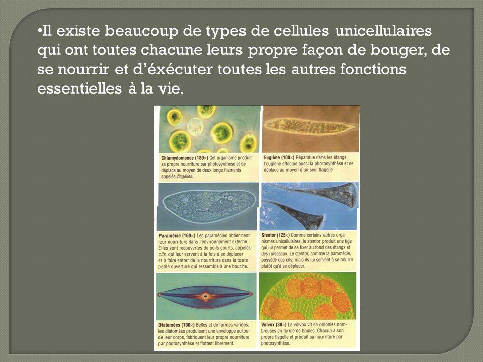 Il existe beaucoup de types de cellules unicellulaires qui ont toutes chacune leurs propre façon de bouger, de se nourrir et d'éxécuter toutes les autres fonctions essentielles à la vie.