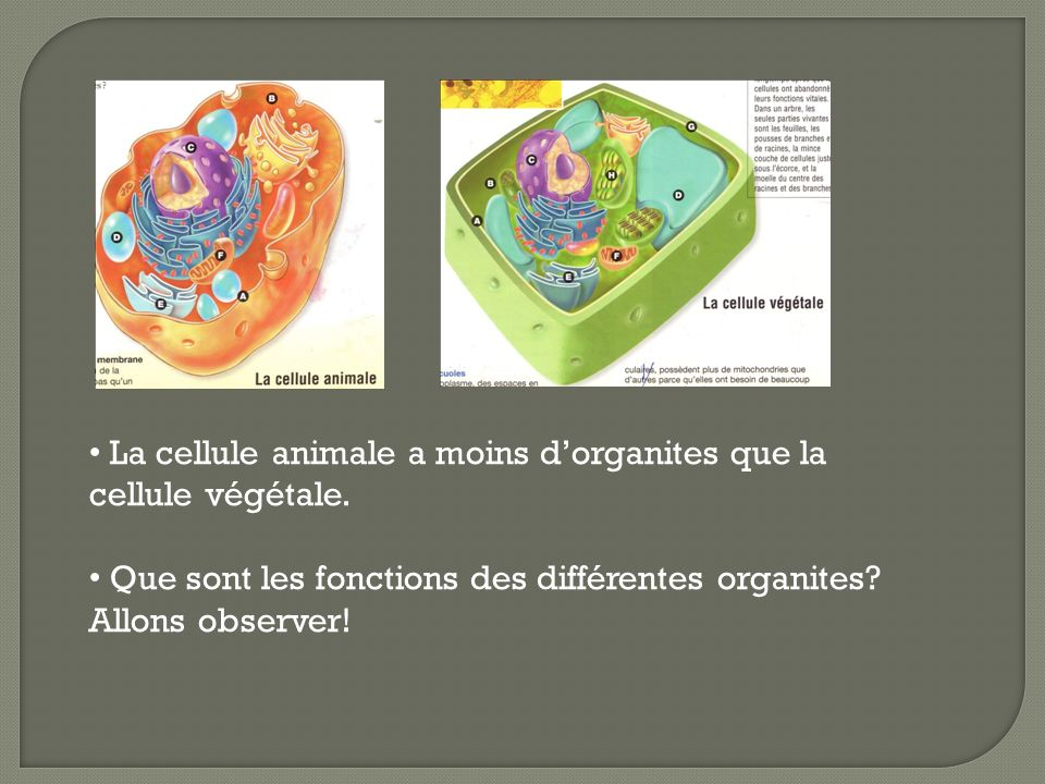 La cellule animale a moins d'organites que la cellule végétale.