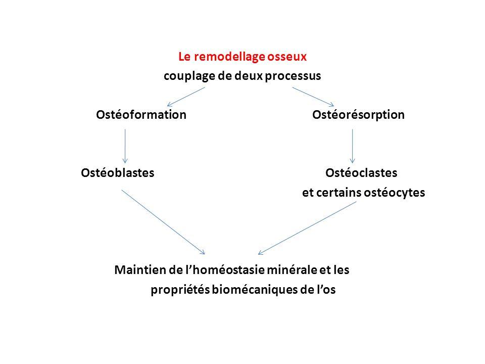 Le remodellage osseux couplage de deux processus Ostéoformation Ostéorésorption Ostéoblastes Ostéoclastes et certains ostéocytes Maintien de l'homéostasie minérale et les propriétés biomécaniques de l'os
