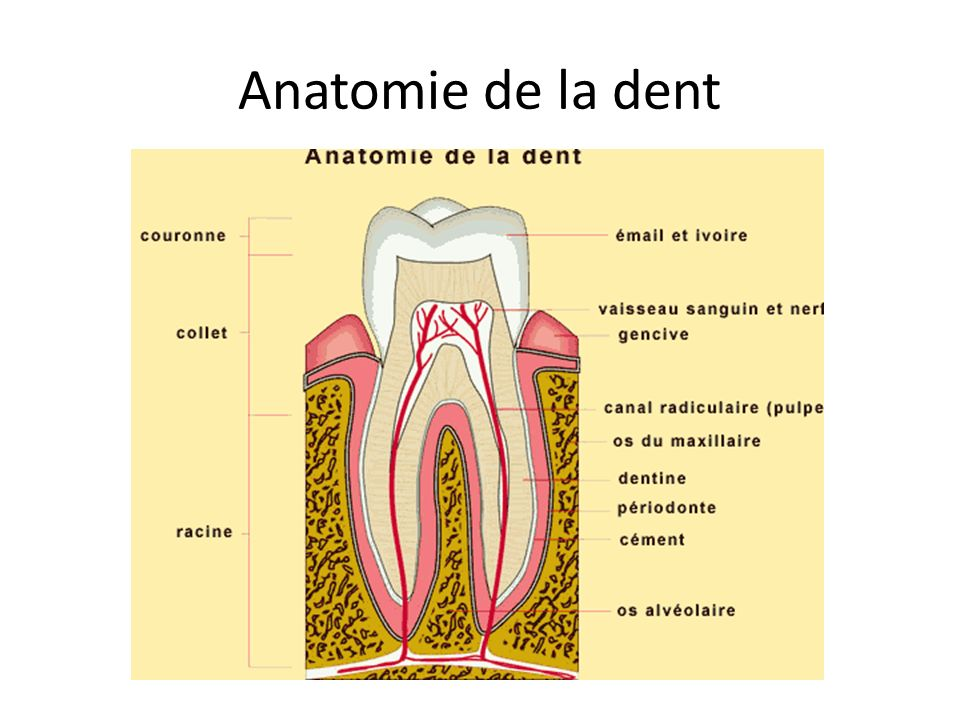 Anatomie de la dent