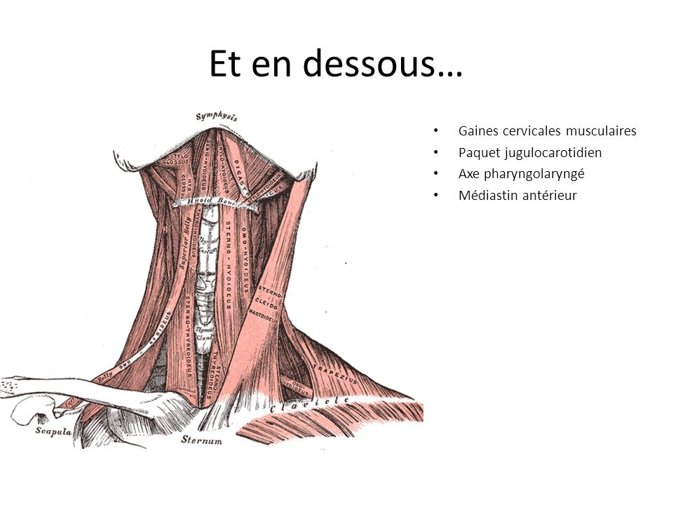 Et en dessous… Gaines cervicales musculaires Paquet jugulocarotidien