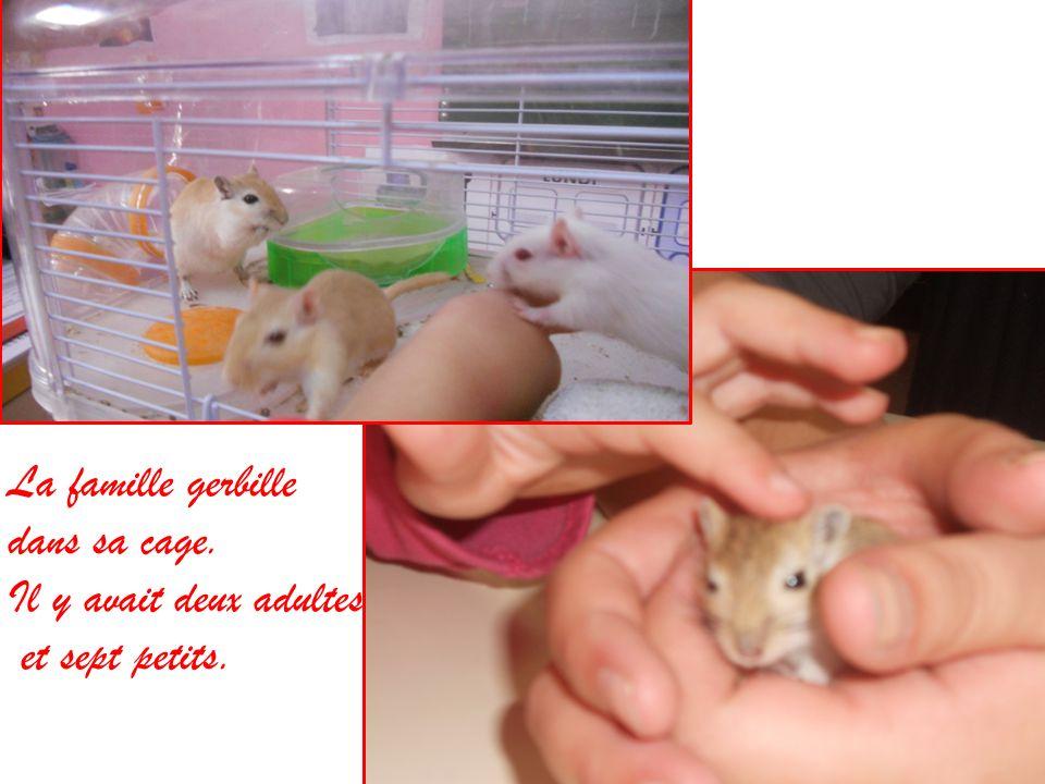 La famille gerbille dans sa cage. Il y avait deux adultes et sept petits.