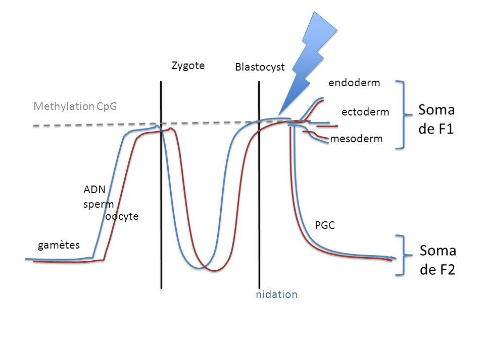 Soma de F1 Soma de F2 Zygote Blastocyst endoderm Methylation CpG