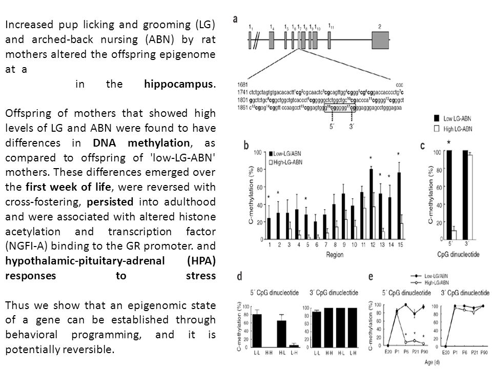 Increased pup licking and grooming (LG) and arched-back nursing (ABN) by rat mothers altered the offspring epigenome at a glucocorticoid receptor (GR) gene promoter in the hippocampus.