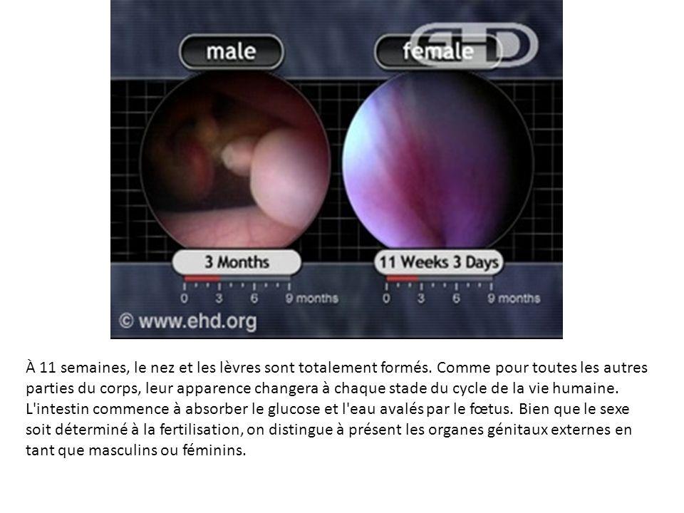 À 11 semaines, le nez et les lèvres sont totalement formés