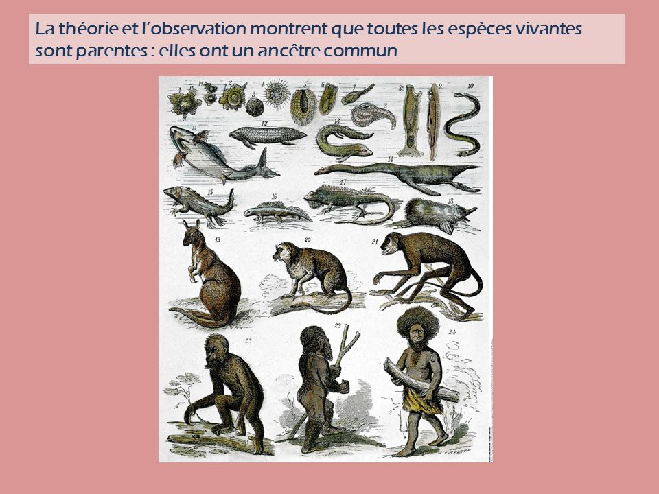 La théorie et l'observation montrent que toutes les espèces vivantes sont parentes : elles ont un ancêtre commun
