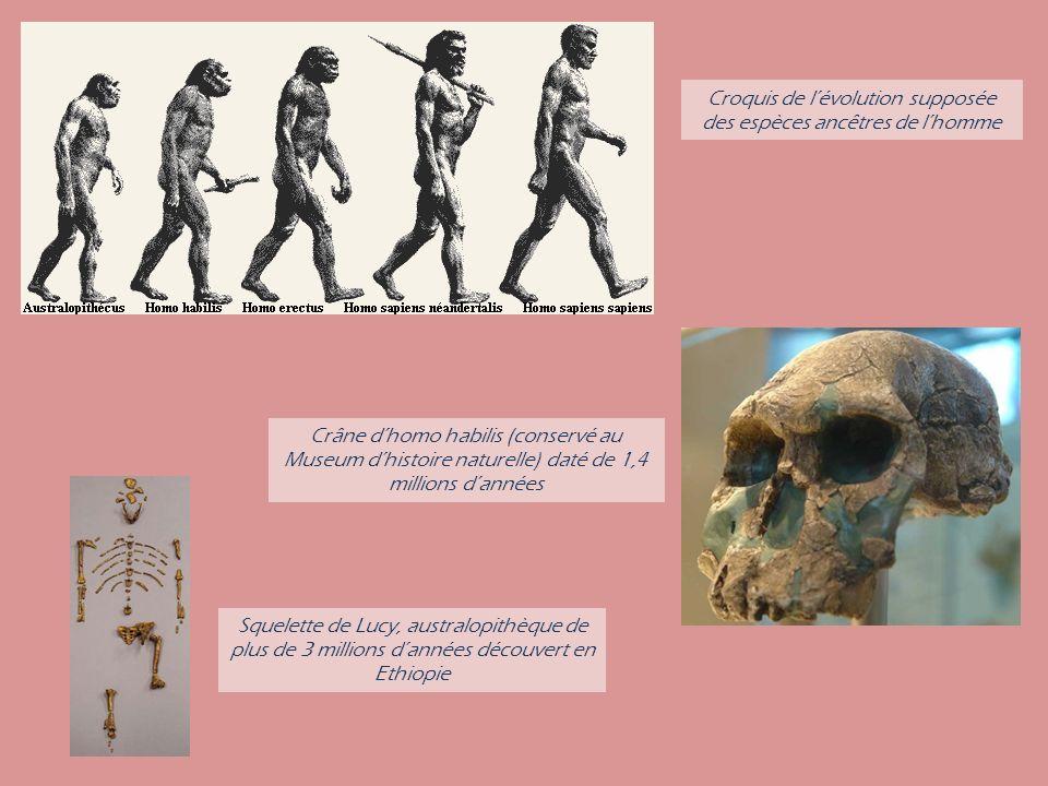 Croquis de l'évolution supposée des espèces ancêtres de l'homme