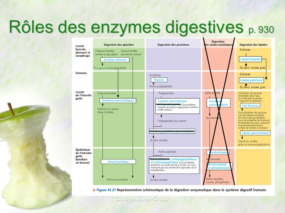 Rôles des enzymes digestives p. 930