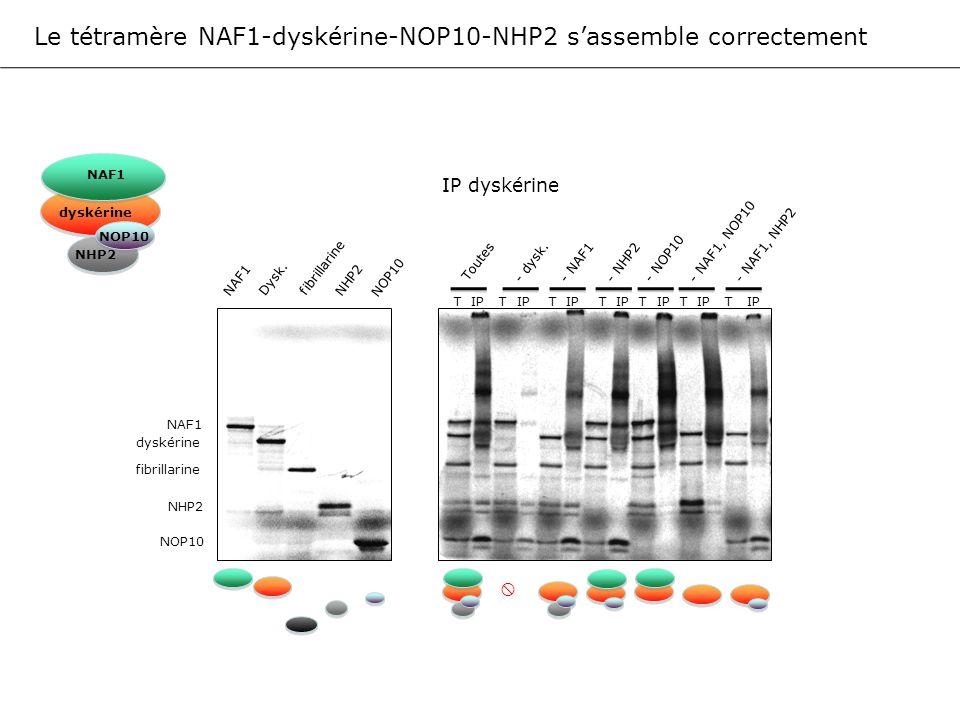 Le tétramère NAF1-dyskérine-NOP10-NHP2 s'assemble correctement