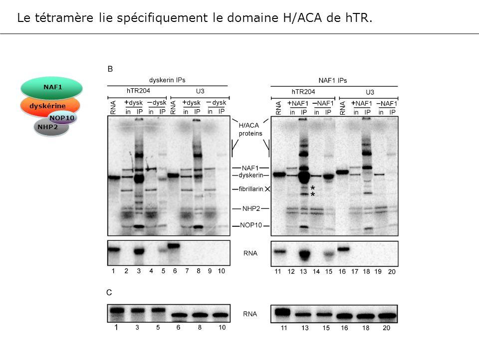 Le tétramère lie spécifiquement le domaine H/ACA de hTR.