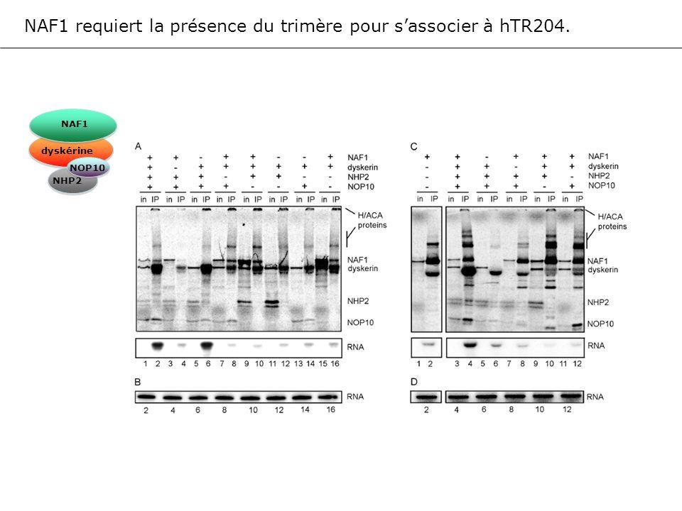 NAF1 requiert la présence du trimère pour s'associer à hTR204.